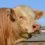 OCELO CH6301 – NEW FRENCH BULL NOW AVAILABLE FROM THE CHAROLAIS SOCIETY