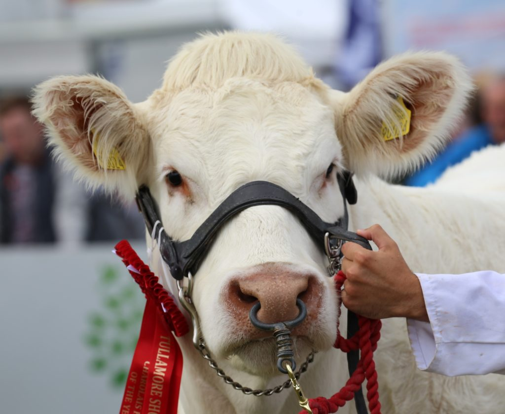CHAROLAIS INTERNATIONAL VIRTUAL SHOW 2021