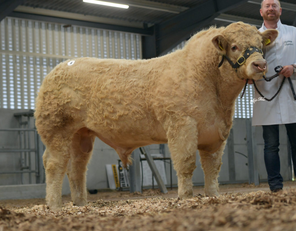 BULLS TO SUIT ALL MARKETS AND BUDGETS ON OFFER AT TULLAMORE