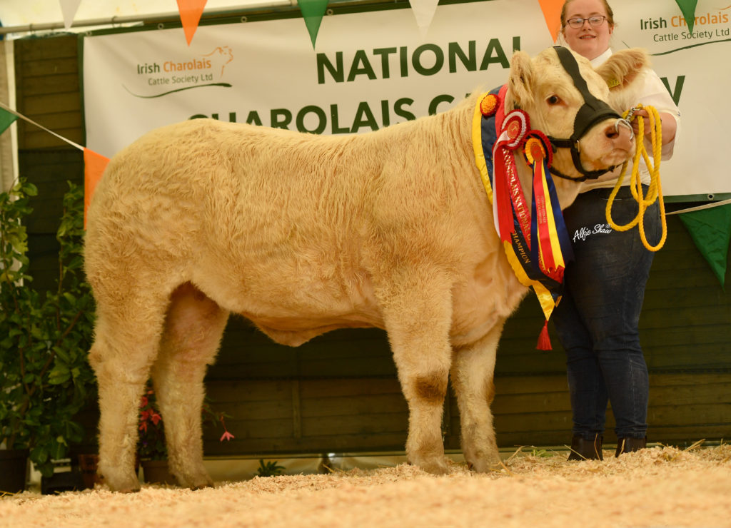 NATIONAL CHAROLAIS CALF SHOW 2021 – WATCH IT BACK HERE NOW
