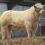 Tullamore November Bull Sale
